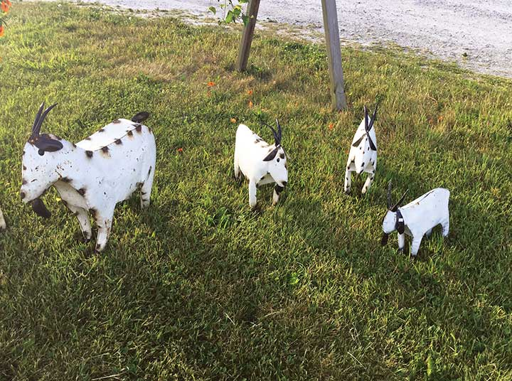 A family of goats